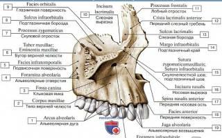 Строение челюсти человека