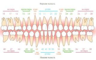 Расположение зубов у человека по номерам